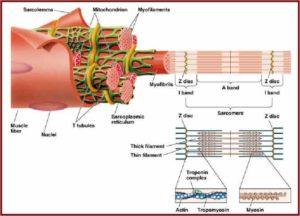 unità-funzionale-del-muscolo